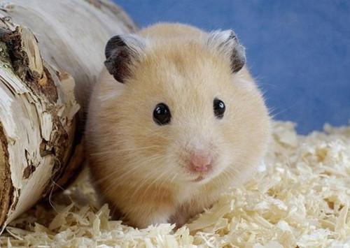 仓鼠不能吃什么,有哪些药物不能给仓鼠使用
